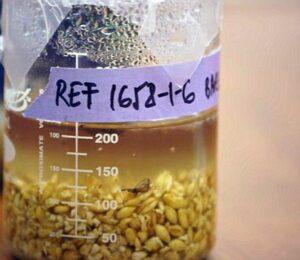 Estudiantes de Stanford elaboran una cerveza china de 5.000 años de antiguedad